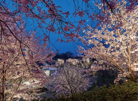 春の風物詩の桜を夜にライトアップした写真