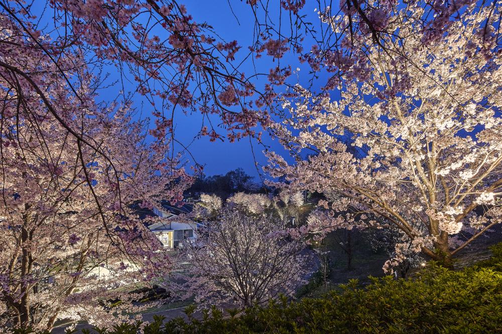 桜を白色でライトアップした写真
