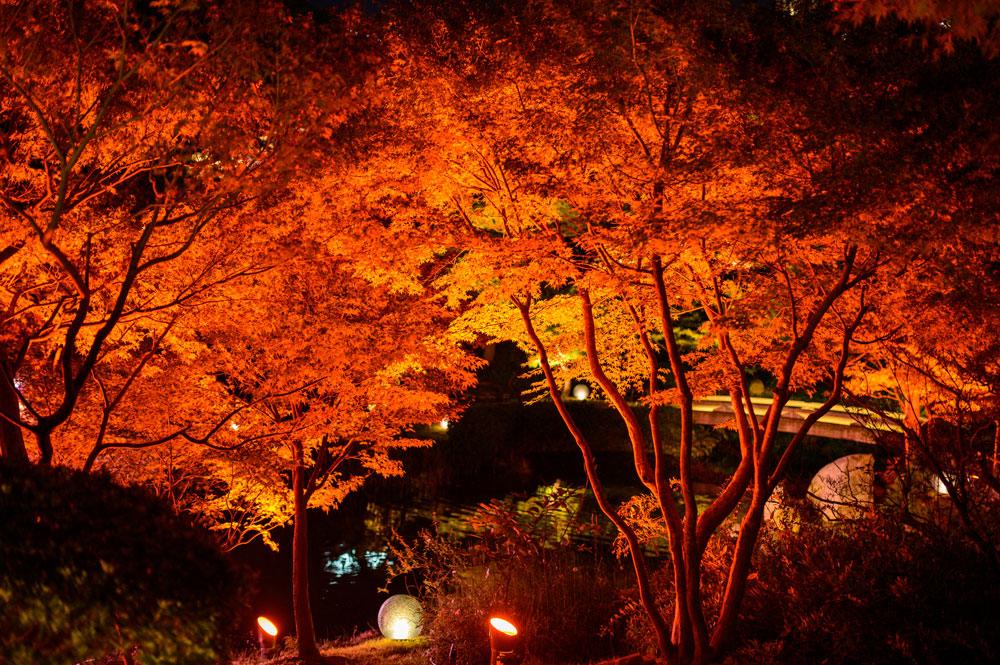 秋に紅葉で赤く染まったカエデをライトアップしているイメージ