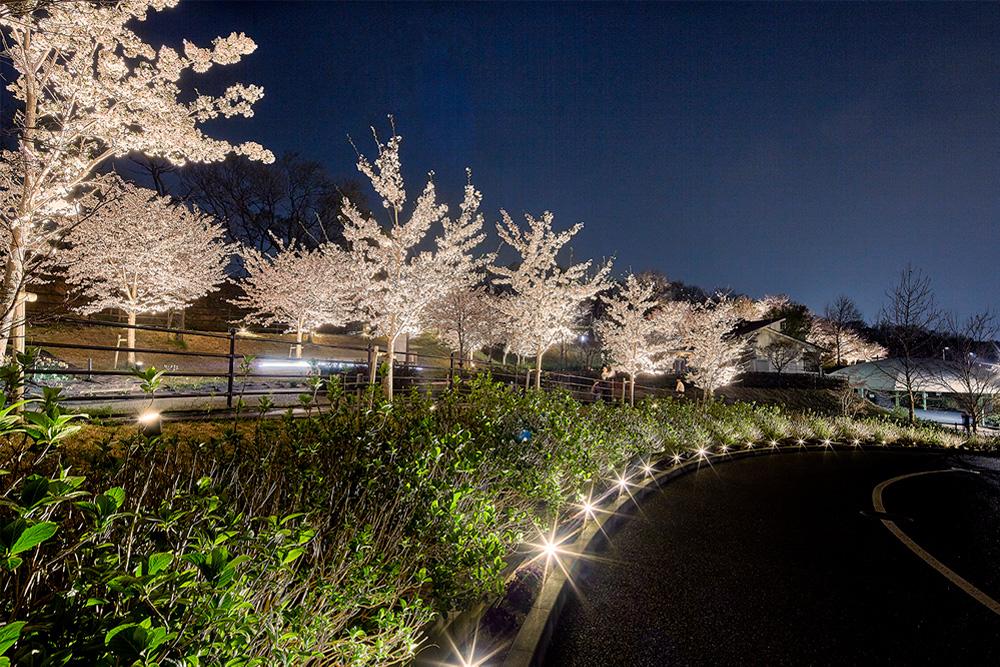 桜シーズンのしらとりの郷の写真