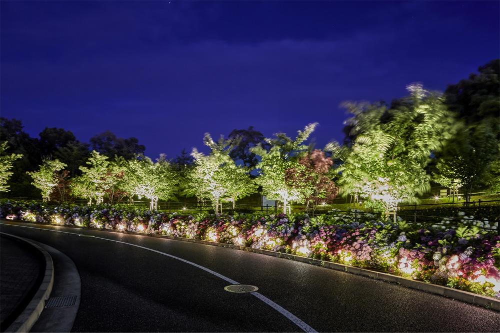 車道沿いのアジサイをライトアップしている写真